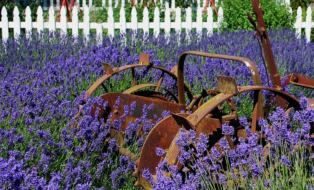 Adrift in the Lavender by Marjorie Wallace