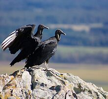 Vultures by steini