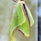 Luna Moth by ©Dawne M. Dunton
