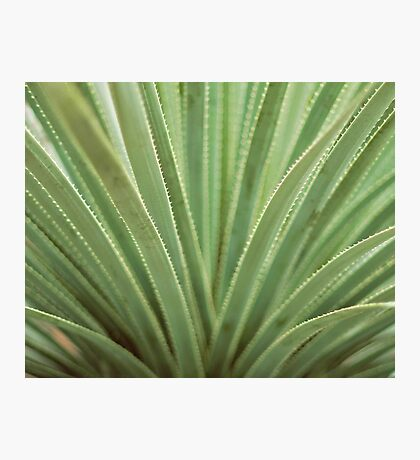 Agave no. 1 Photographic Print