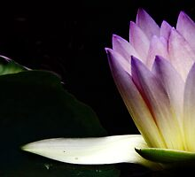 Waterlily Light by Charlotte Harold