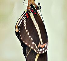 New Zebra Longwing Butterfly by ©Dawne M. Dunton