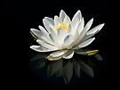 Pure Lily by Kathy Weaver