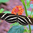 Zebra Longwing by ©Dawne M. Dunton