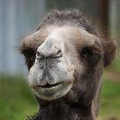 Cheeky Camel by JohnBuchanan