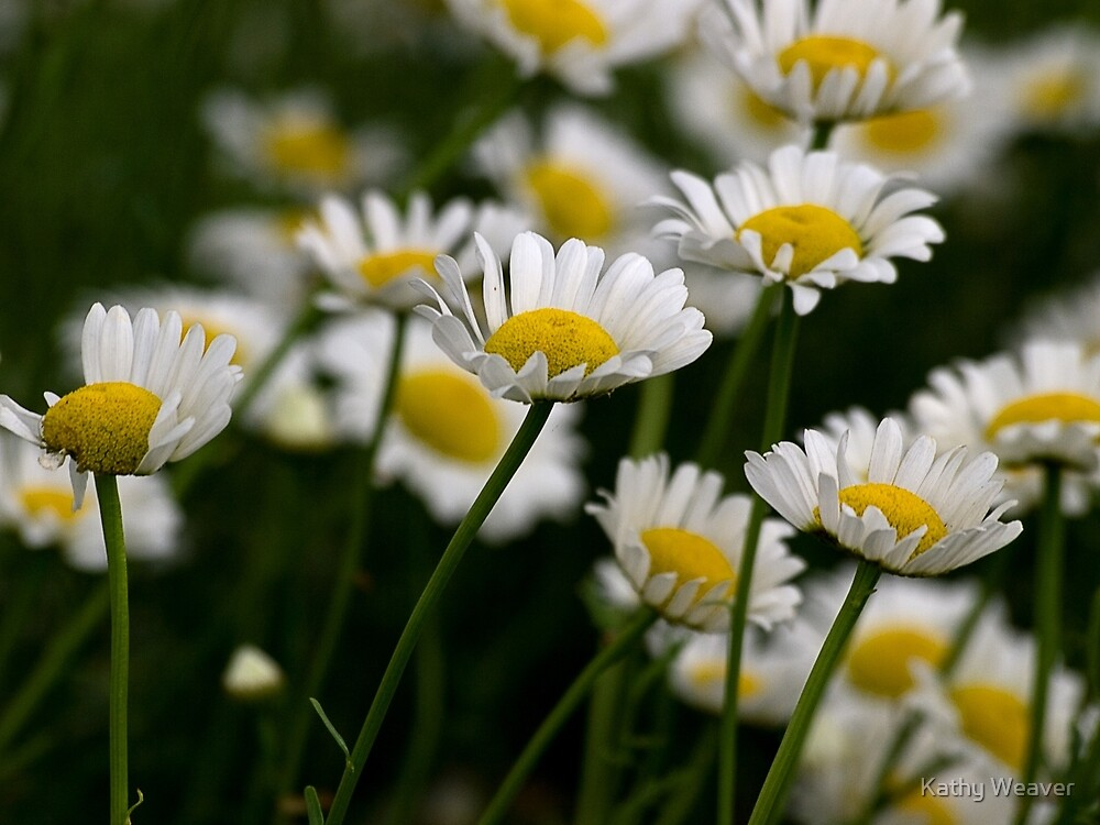 Field Of Daisies by Kathy Weaver