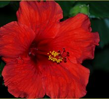 Red, Red, Hibiscus by davesdigis