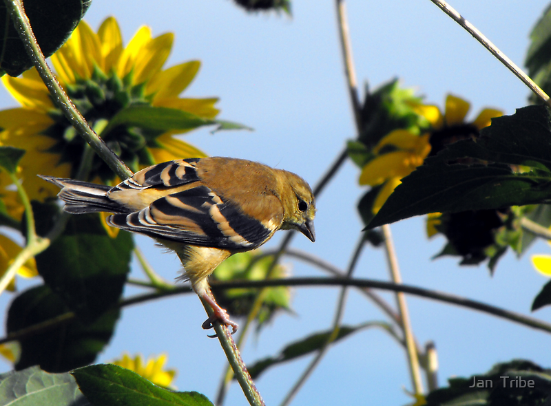 Female American Goldfinch by Jan  Tribe