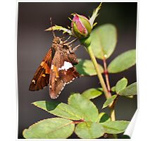 'Silver Spotted Skipper and Rosebud' Poster
