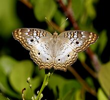 WHITE PEACOCK BUTTERFLY by TomBaumker
