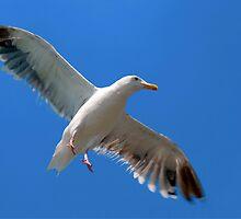 Seagull by Eyal Nahmias