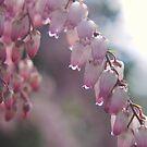 Pieris japonica by Julie Sherlock