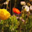 Poppies (Mt Wison) Spring 2009 by Julie Sherlock