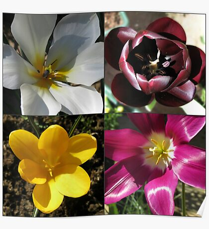 Flowering Bulbs - Four Frame Collage Poster