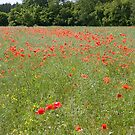 Poppy field by Mariann Rea