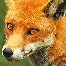 Foxy Lady by Anthony Hedger Photography