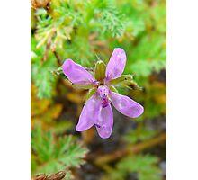 Little Purple Flower Photographic Print