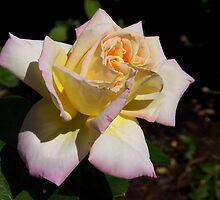 Pastel Rose by digitaldavers
