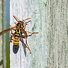 Australian Paper Wasp by Teale Britstra
