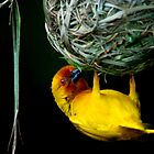 Weaver bird by Tony Hadfield