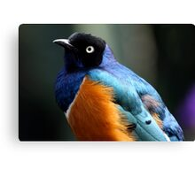 African Superb Starling Portrait Canvas Print