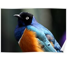 African Superb Starling Portrait Poster