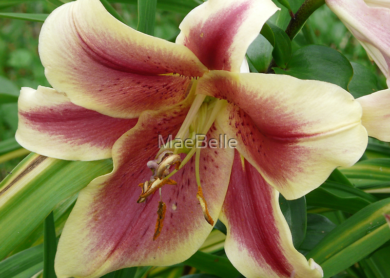 Gorgeous Lily by MaeBelle