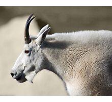 Mutton Chop Goat Photographic Print