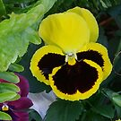in the pansy patch by Rick Playle