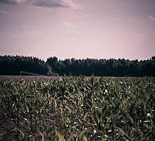 Corn Field by AlixCollins