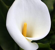 arum lilly 2 by Karen E Camilleri