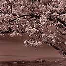 cherry blossoms over English Bay, Vancouver by jackson photografix