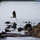 Egret flight by Rochelle Buckley