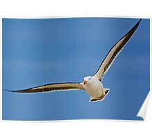 Pacific Gull Poster