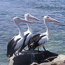 Pelican Trio by Rochelle Buckley