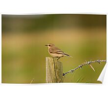 Wheatear Poster