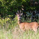 Male roe deer by Mariann Rea
