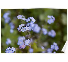 Blue forget-me-not Poster