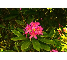 Rhododendron #2 Photographic Print