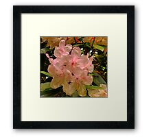 Hint of Pink (Rhododendron) Framed Print