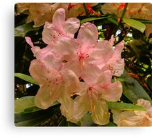Hint of Pink (Rhododendron) Canvas Print