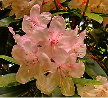 Hint of Pink (Rhododendron) Photographic Print