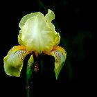 Yellow Bearded Iris by LjMaxx