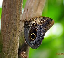 Owl Butterfly on Tree by Pam Moore