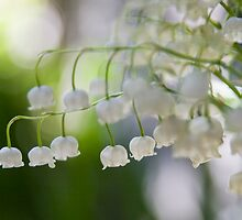 Lily of the valley panorama by Mariann Rea