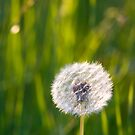 The lone dandelion by Mariann Rea