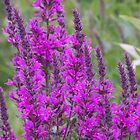 Purple Loosestrife by Mercale Silverstorm