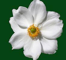 """Anemone x hybrida """"Honorine Jobert"""" by Philip Mitchell"""