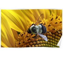 *BUMBLEBEE ON A SUNFLOWER* Poster