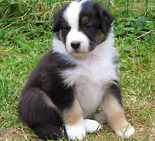 Fluffy Australian Shepherd